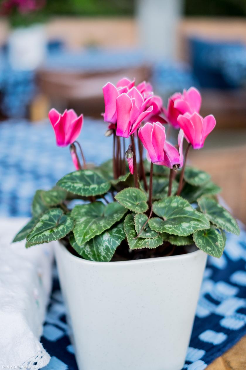 A perzsa ciklámen többféle színű lehet, 15-30 centis fajtái is ismertek. Meseszép szirmaihoz szív alakú levelek társulnak. Nagyjából 15 °C-on érzi jól magát, jól tűri a szórt fényt, a tűző napot viszont nem.