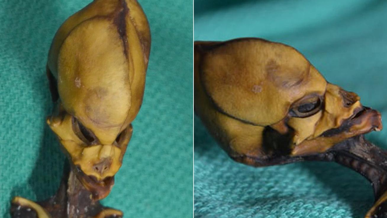 15 centiméteresen is évekig életben maradt: mutáns csontvázra bukkantak