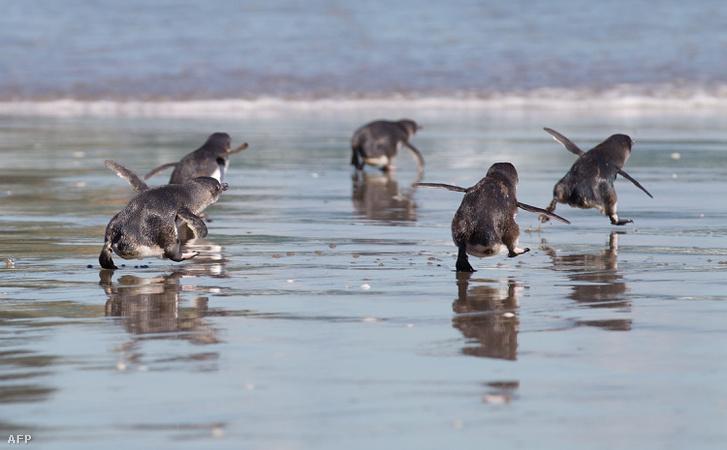 Kék pingvinek Új-Zéland partjainál 2011-ben