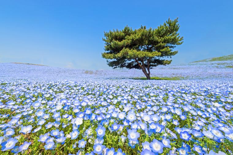 Ötpettyes virágok a japán Hitachi ParkbanÁprilis végétől május közepéig a Csendes-óceán mellett fekvő Hitachi Partot megközelítőleg 4,5 millió szálból álló, kék virágtenger borítja be - elképesztő látvány.