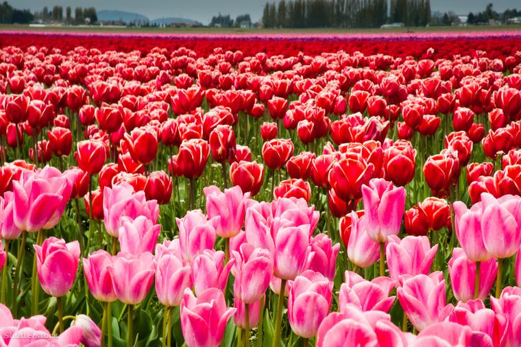 A rendezvényen szervezett biciklis tulipántúrákat, fotóversenyeket és művészeti eseményeket tartanak háttérben a szirmot bontó tulipánokkal.