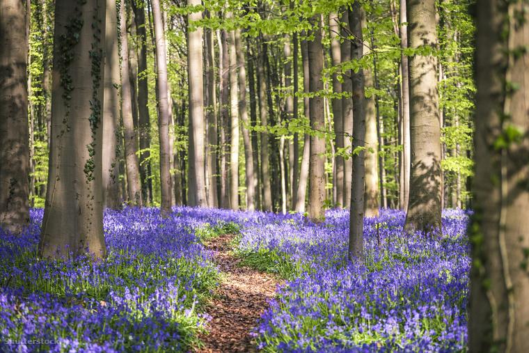 """Harangvirágok a belgiumi Hallerbos erdőbenHallerbos, más néven """"A kék erdő"""" lila virágpompába borul tavasszal"""