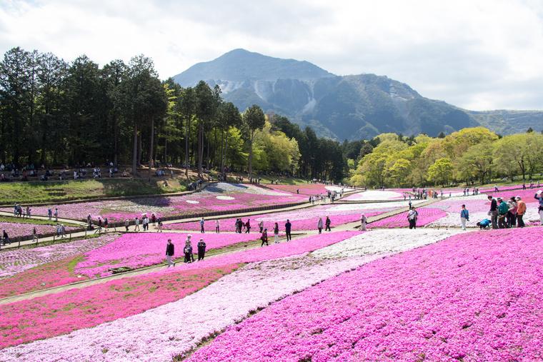 Rózsaszín pompa a japán Hitsujiyama ParkbanJapán valóságos éden a virágrajongóknak tavasszal
