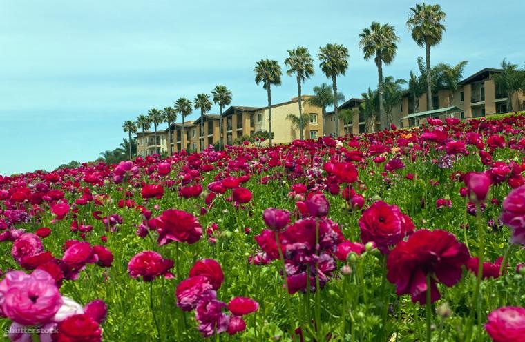 Boglárkavirágzás a kaliforniai CarlsbadbenA kaliforniai, 50 hektáros Carlsbadet minden évben, március és május között borítják be a halványrózsaszíntől a vajsárgáig minden árnyalatban tündöklő boglárkák.