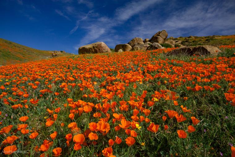 A kaliforniai Antelope Valley arany pipacsaiBiztosan nem tudtad, hogy Kalifornia híres a vadvirágairól