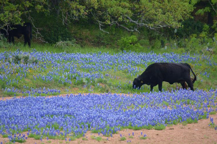 Tátikák a texasi Willow City-ben Az Austintól másfél órára fekvő Willow City minden tavasszal vonzza a turistákat, amelynek oka a 20 km hosszú út mellett fekvő, késő márciustól kora áprilisig virágzó tátikamező.