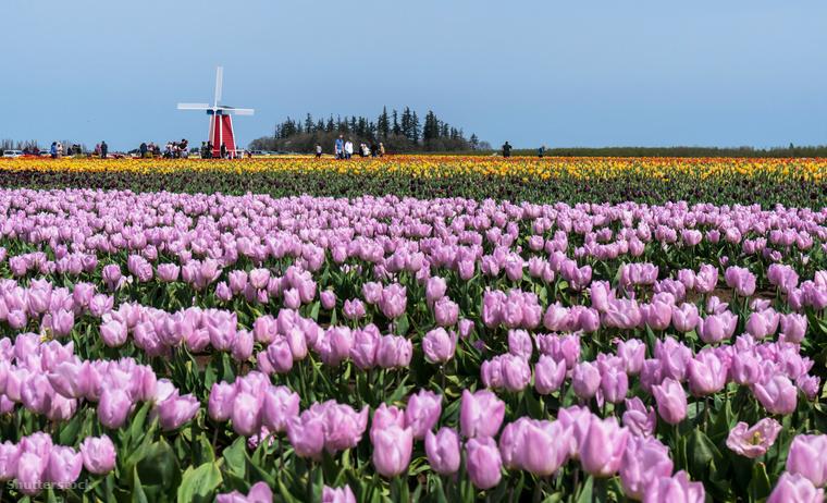 Wooden Shoe tulipánfarm OregonbanNem csak Hollandia híres a tulipánjairól