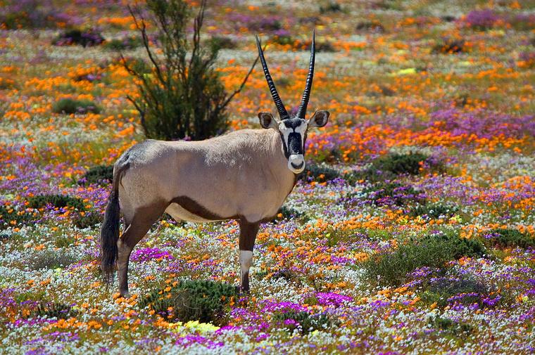 Namaqualand vadvirágai Dél-AfrikábanAfrikáról először biztosan nem a virágok jutnak eszedbe, pedig a dél-afrikai Namaqualandban található sivatag augusztustól szeptemberig - ami a déli féltekén a késő telet és a kora tavaszt jelenti - virágpompába borul.