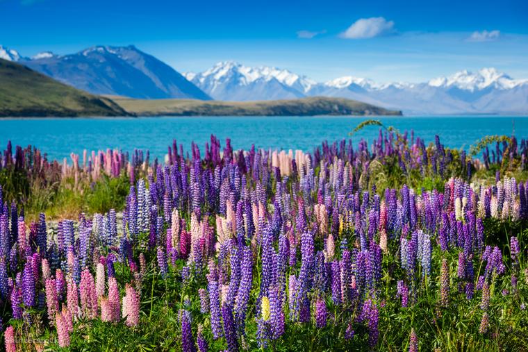 A Tekapo-tó gyöngyvirágai Új-ZélandonÚj-Zéland Déli-szigetén fekvő Tekapo-tó környékét késő novembertől kora januárig - ami ott a késő tavaszt jelenti - lila és rózsaszín gyöngyvirágok lepik el