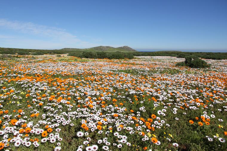 2018-ban azonban kétséges a virágzás, hiszen a nagy szárazság miatt már tavaly sem nyíltak a sivatagi vadvirágok.