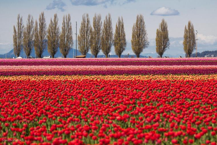 Tulipánmezők a washingtoni Skagit völgybenA washingtoni Skagit völgy tulipánjai olyan elképesztő látványt nyújtanak, hogy külön fesztivált rendeznek a tiszteletükre immár 34 éve minden áprilisban.