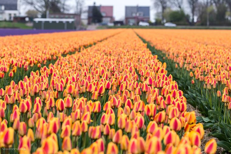 Tulipánok Hillegom körénykén HollandiábanHollandia valódi tulipánparadicsom, viszont ha testközelből szeretnéd látni a virágzásukat, igyekezz, ugyanis áprilisban tetőzik a tulipánszezon