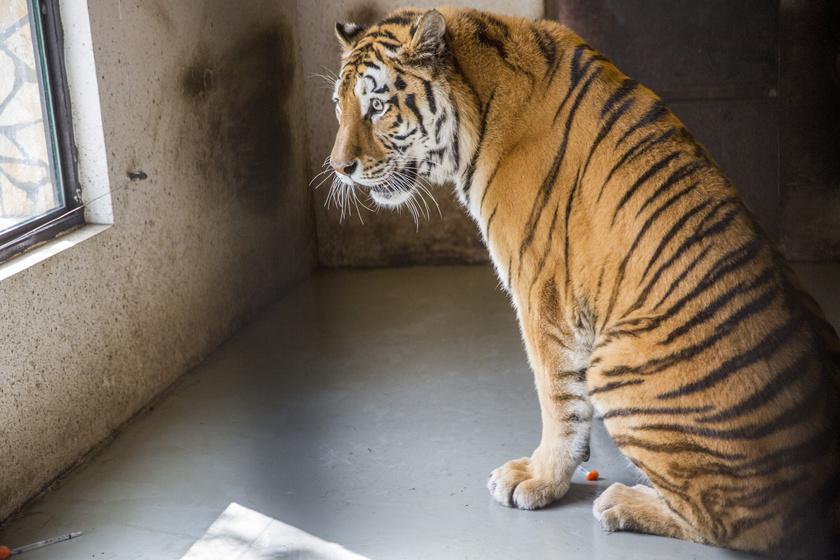 Súlyos fájdalmai voltak a tigrisnek, különleges módszerrel gyógyítják
