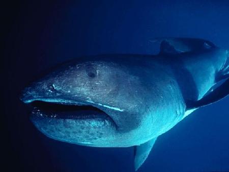 Óriásszájú cápa