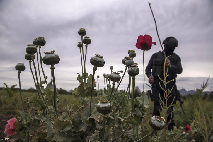 DEA ügynök egy illegális mákföldön a mexikói Los Pericos nevű faluban, 2018. március 15-én.