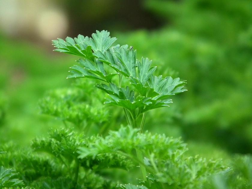 A petrezselyem kedvelt a kezdő kertészek körében, hiszen a szívósabb növények közé tartozik. Árnyékos helyen is elél, de nedves talajt igényel.