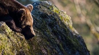Kutatni akarták az életmódját, de véletlenül megölték a ritka barna medvét