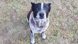 Egy süket, félig vak kutya mentette meg egy kislány életét Ausztráliában