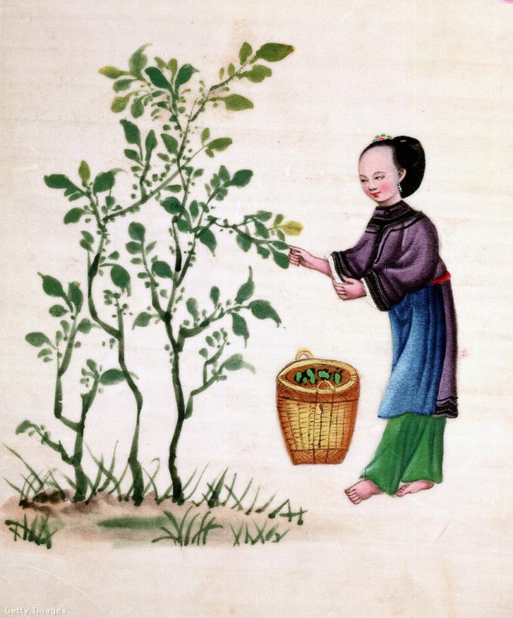 Eperfa levelét gyűjti egy nő - a selyemhernyókat az eperfa levelével táplálták
