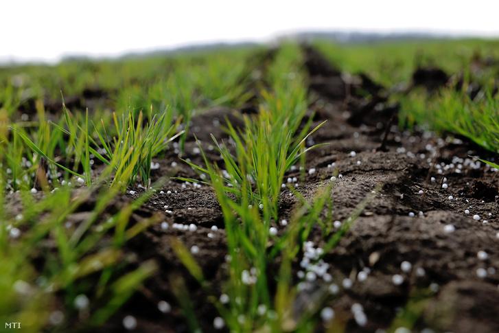 Őszibúza vetés műtrágyázás után. A tavaszra fordult időjárásban megkezdődtek a mezőgazdaság alapvető munkálatai Ebesen.