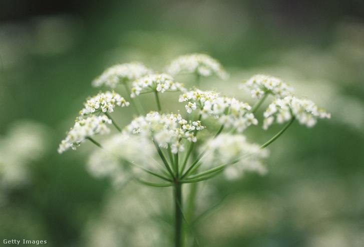 A kömény virágzata, amiből a magok alakulnak ki