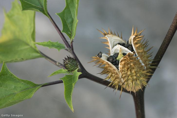 A csattanó maszlag termése, amiből az atropintartalmú magvak származnak