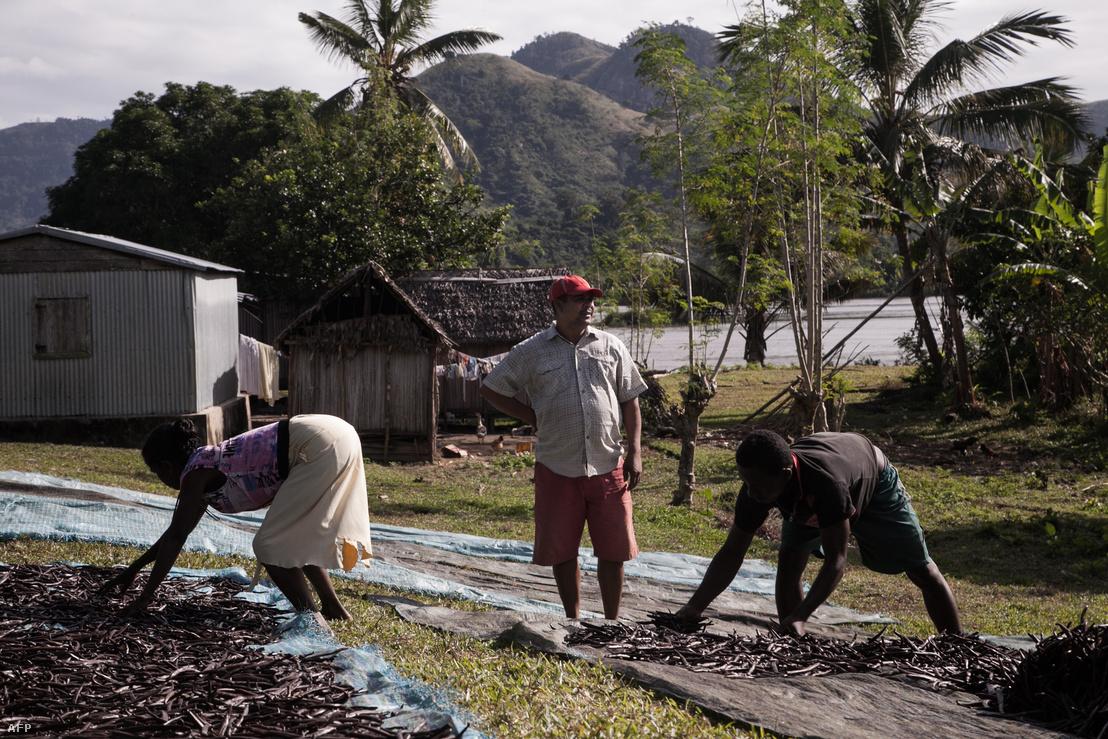 Vaníliát szárítanak egy madagaszkári farmon.