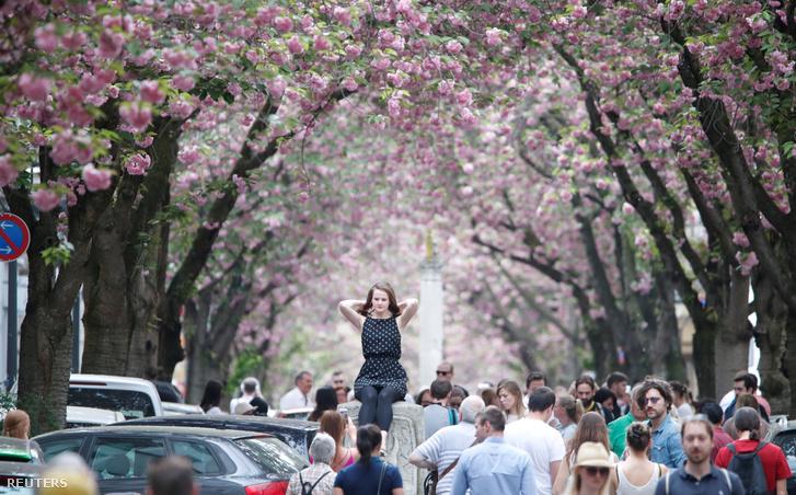 A virágzó cseresznyefák alatt sétálók Bonnban, 2018. április 22-én