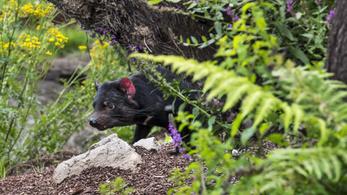 Eddig sosem látott tasmán ördögök menthetik meg a fajt a kihalástól