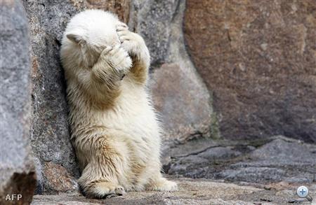 Németország: Knut, a cseperedő jegesmedvebocs.