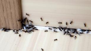 Így védekezhetsz a lakást ostrom alá vevő hangyák ellen
