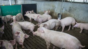 Tovább nőtt a sertéspestissel fertőzött terület Pest megyében