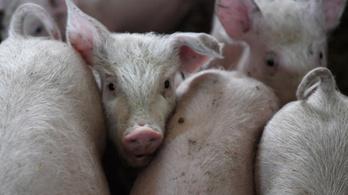 Ukrajna kitiltotta a magyar disznóhúst
