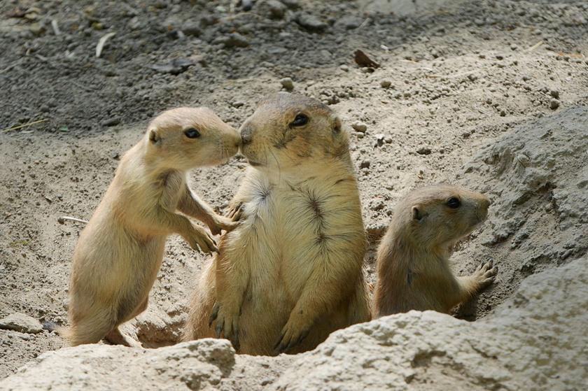 A társas prérikutya nem véletlenül kapta ezt a nevet: akár több milliós kolóniákban is élhetnek az észak-amerikai füves pusztákon, a prériken.