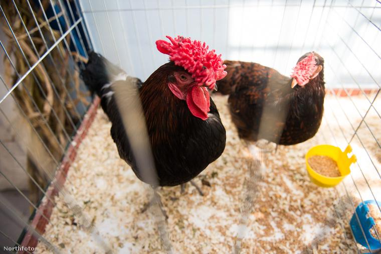 Vörössipkás Tyúk az Egyesült-Királyság színeiben érkezett, és a természetes csirkék táborát kívánja erősíteni.Számomra az alázat és a testem karbantartása a legfontosabb hobbim