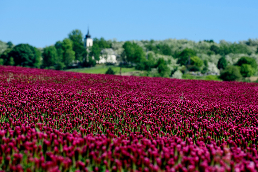 Virágzik a bíborhere a Nógrád megyei Endrefalva közelében.