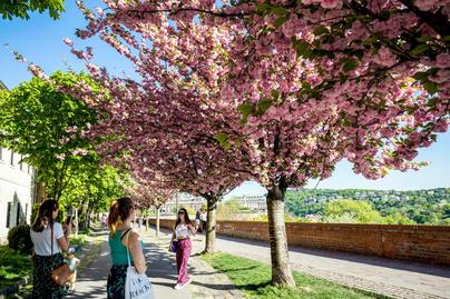 virag-cseresznye