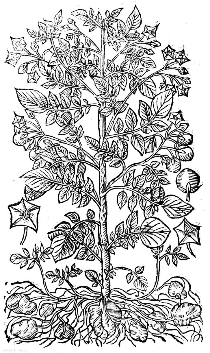 Krumplit ábrázoló fametszet 1640-ből