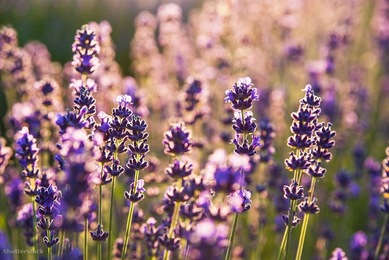 A pestisjárvány alatt Európában úgy hitték, hogy a növény megvédi őket a fertőzéstől, ezért levendulakarkötőt viseltek