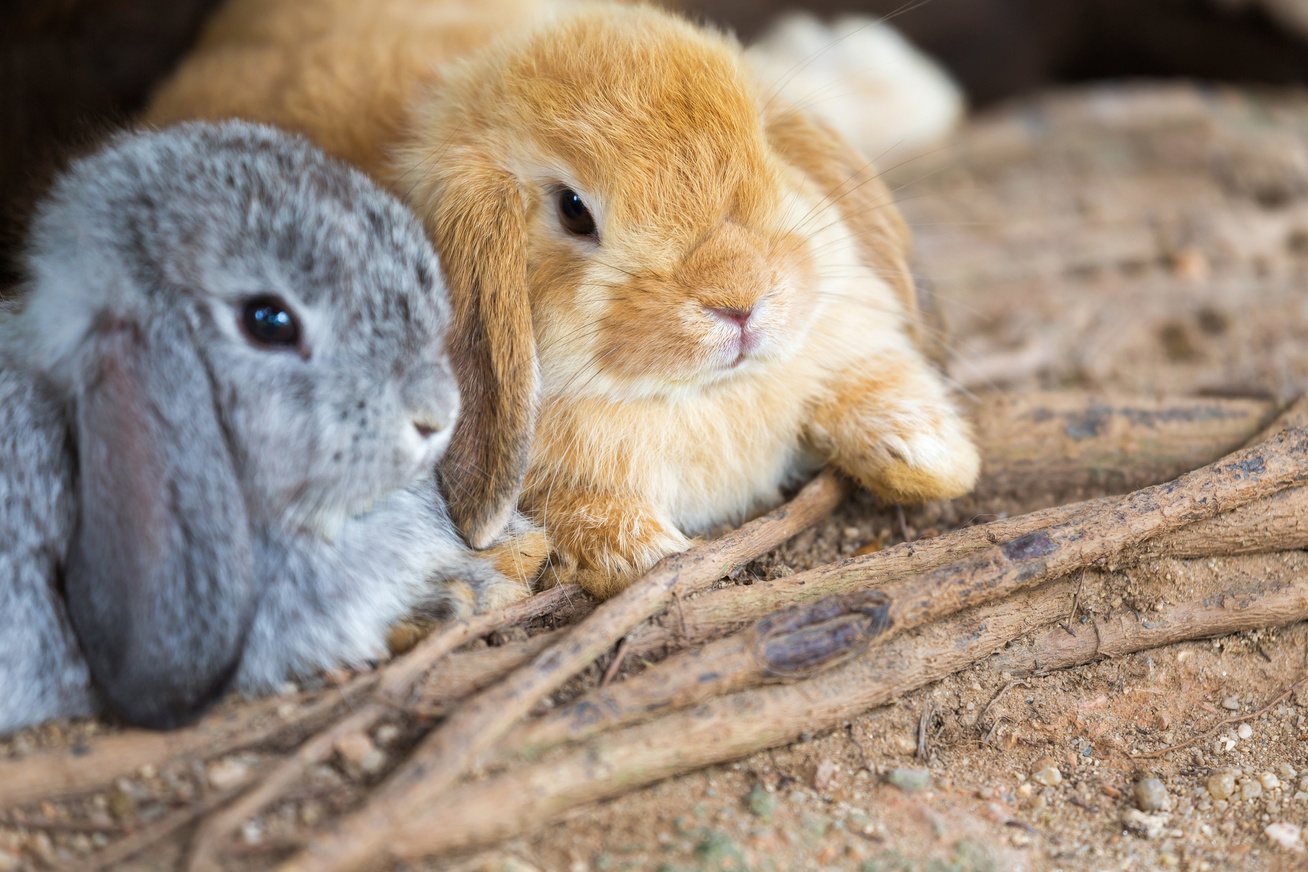 holland lop torpenyul
