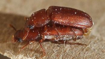 Nem biszexuális, csak inkompetens a más hímekkel szexelő hím rovar