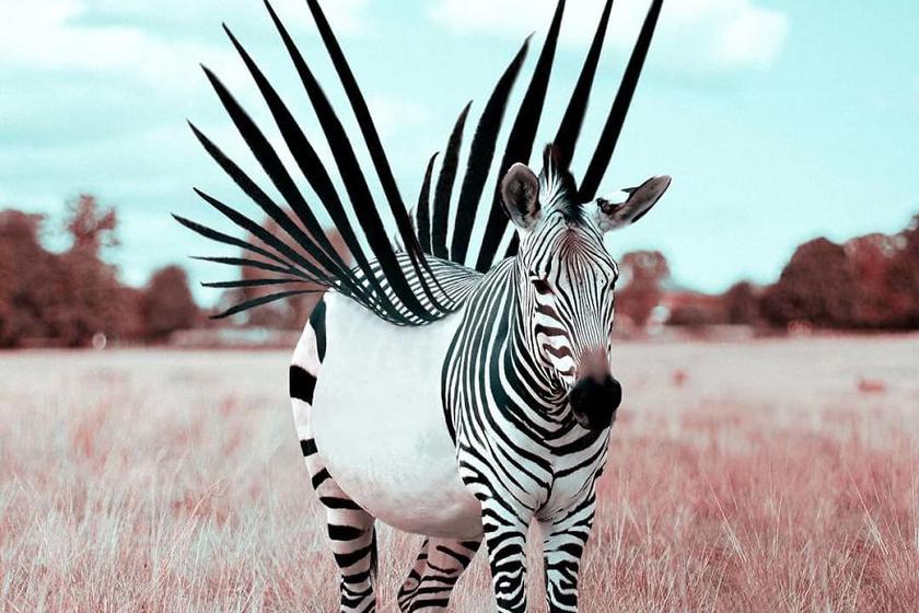 Szárnyas zebra.