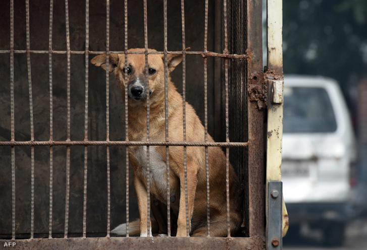 Elfogott kóbor kutya Új Delhiben, ahol 2017 végén egy nagyszabású akció keretében rengeteg kóbor állatot sterliziáltak majd engedtek szabadon a környéken, hogy kordában tudják tartani a gazdátlan állatok populációját.