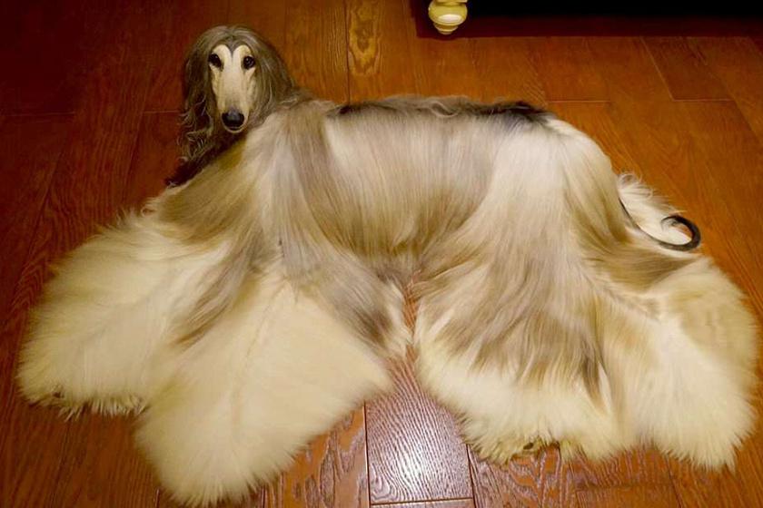 Ennek a kutyának többe kerül a frizurája, mint a tiéd - És szebb is
