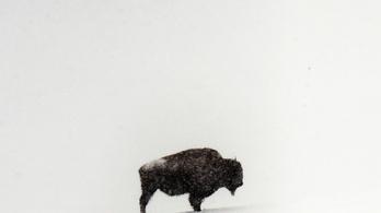 Újra bölénycsordák kóborolhatnak az indiánok földjein