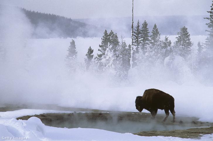 Magányos bölény a Yellowstone park egyik hőforrásánál