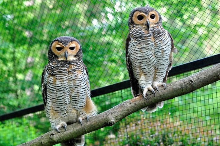 Pettyesbagoly-pár a zlini állatkertben