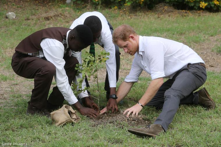 Harry herceg fát ültet Barbados függetlenségének 50