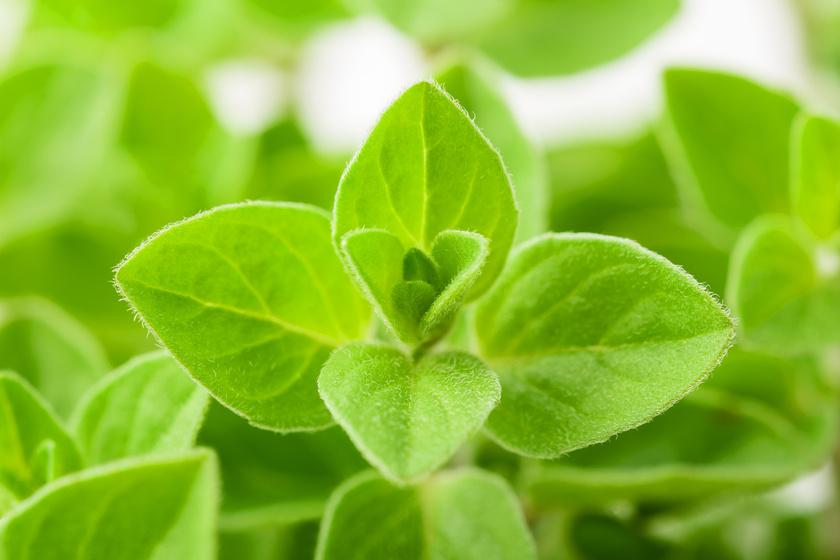 Gyomorerősítő zöldfűszer puffadás ellen - Ültesd el otthon!
