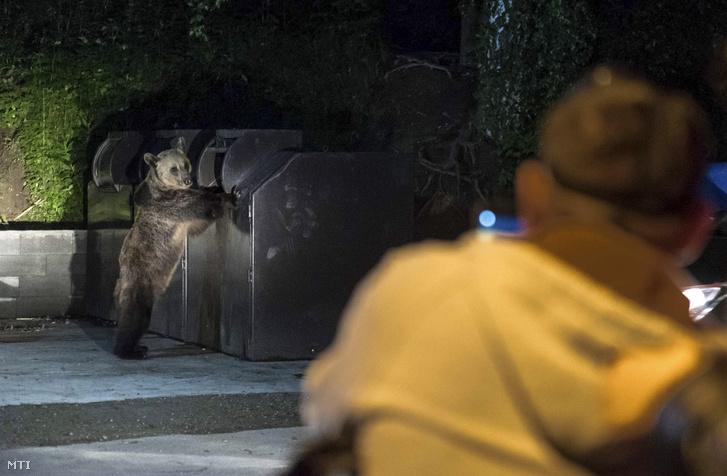 Turisták fotóznak egy kukában élelmet kereső medvét Tusnádfürdőn 2017. június 9-én este. A vadállatok az erdélyi város utcáin úgy mászkálnak, mint máshol a kóbor kutyák.